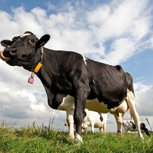 Cow-Wallpaper-cows-26941954-1680-1050