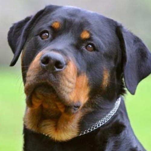 images-of-rottweiler-dogs-4