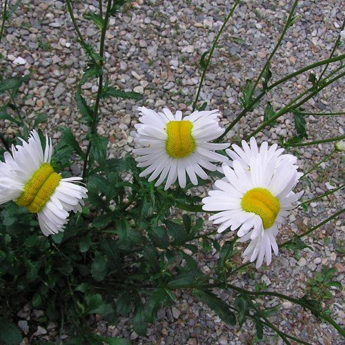 photo-these-deformed-daisies-from-fukushima-are-blowing-up-the-internet
