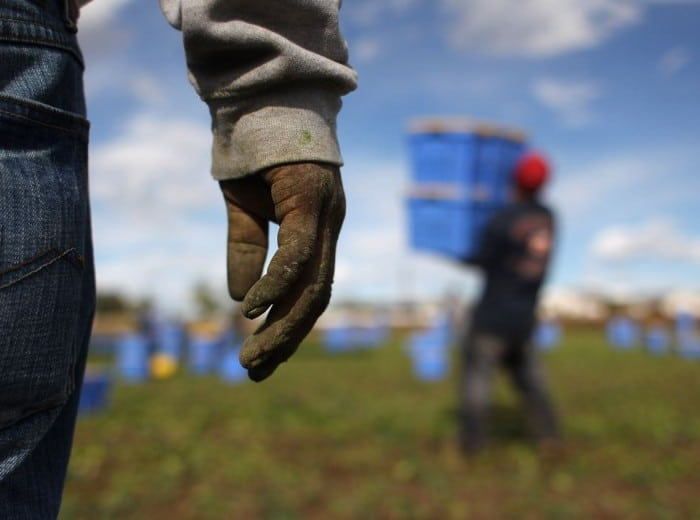 "WELLINGTON, CO - OCTOBER 11:  Mexican migrant workers harvest organic spinach at Grant Family Farms on October 11, 2011 in Wellington, Colorado. Although demand for the farm's organic produce is high, Andy Grant said that his migrant labor force, mostly from Mexico, is sharply down this year and that he'll be unable to harvest up to a third of his fall crops, leaving vegetables in the fields to rot. He said that stricter U.S. immigration policies nationwide have created a ""climate of fear"" in the immigrant community and many workers have either gone back to Mexico or have been deported. Although Grant requires proof of legal immigration status from his employees, undocumented migrant workers frequently obtain falsified permits in order to work throughout the U.S. Many farmers nationwide say they have found it nearly impossible to hire American citizens for labor-intensive seasonal farm work.  (Photo by John Moore/Getty Images)"