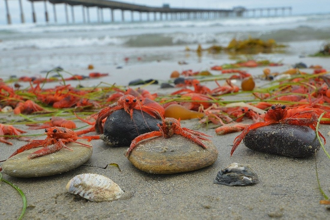 Red Tuna Crab Wash Up on San Diego Beaches