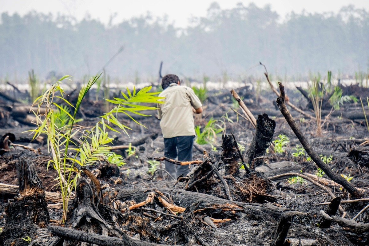 Oil Palm Saplings on Burned Land in Central Kalimantan